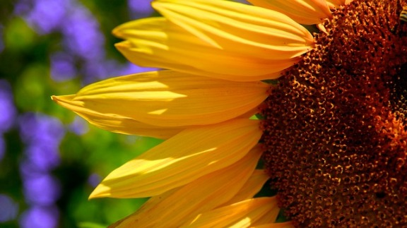 sunflower-76068_640